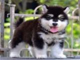 海口哪里有狗卖 海口阿拉斯加雪橇犬多少钱一只