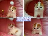 无锡宠物猫,无锡加菲猫加菲,无锡异短价格,猫舍加菲