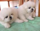 西安那里有京巴犬卖 西安京巴犬价格 西安京巴犬多少钱