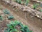 四川道地中药材种苗种子出售及种植