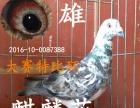 出售信鸽,血统鸽,公棚赛鸽