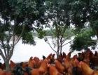 体验农家乐活捉走地鸡散养野山土鸡清远麻鸡