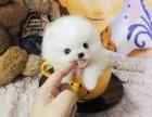上海纯种哈多利球形博美宝宝 小体型,健康质保,可上门挑
