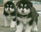 繁殖高品质 阿拉斯加幼犬 出售包健康可退换