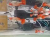 自养鸿运当头一二代鱼