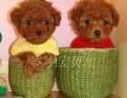 精品泰迪宠物狗领养出售包健康