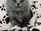 英短蓝猫蓝白宠物猫
