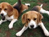 品质保证,血统纯正,正规繁殖基地出售大中小型宠物犬