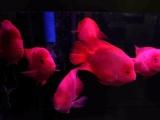过背金龙 财神鹦鹉1.8米阿诺比鱼缸整体便宜转让