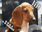 家养纯种腊肠犬便宜出售了 喜欢的可以加我详聊