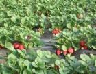 自贡姚坝草莓香