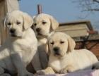 北京靓宠国际名犬繁殖中心 出售赛级精品拉布拉多幼犬