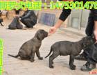 精品卡斯罗出售2--4个月 卡斯罗图片 马犬养殖场