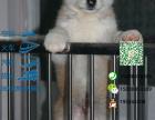 秋田犬哪有卖的/宠物店狗市在哪里