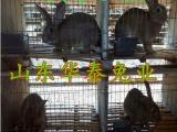 养殖杂交兔 比利时兔河南有养殖的吗多少钱一只