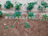 晶玉草莓苗多少钱一棵 晶玉草莓苗品种介绍