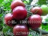 黑美人以色列番茄种子,高产