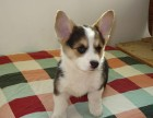 拉布拉多犬幼犬好训练吗 成年拉布拉多犬多少钱一只