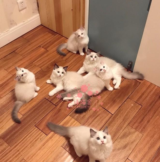 长春哪里有卖布偶猫,两个半月布偶猫多少钱一条