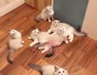 南京哪里有卖布偶猫幼崽 南京较便宜布偶猫多少钱一只保健康