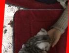 聪明伶俐的折耳猫宝宝找新主人