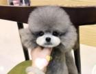 北京哪里卖泰迪茶杯泰迪灰泰迪犬幼犬北京泰迪多少钱一只泰迪图片
