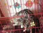 一只虎斑妹妹出售 怀孕二十多天