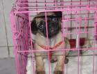 出售纯种健康巴哥幼犬包健康签协议质保三个月
