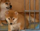 出售纯种血统级柴犬幼犬 火爆销售中 快来选购吧