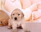 纯种金毛幼犬 上门看狗 多只挑选 售后有保障