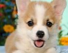 重庆里出售柯基犬 重庆哪家宠物店信誉好