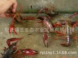 养殖龙虾种虾 公司提供优质龙虾技术 淡水