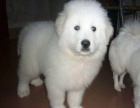 精品赛级纯种大白熊 毛量足 品相佳 售后有保障