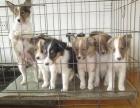 上海哪里有卖苏牧上海苏牧犬多少钱上海苏牧犬好养吗上海苏牧视频