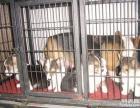 上海哪里有免费领养宠物狗 自家大狗生的5只柯基犬赠送公母都有