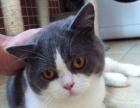 英国纯血统蓝白正八字短毛猫1800元(已节育)
