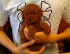 西安出售3个月的泰迪犬(公母均有)包犬瘟细小-签协议