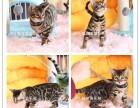 孟加拉豹猫出售 宠物级 繁育级 公母全 疫苗齐