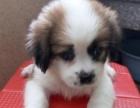 崇武古城宠物狗蝴蝶犬低价领养活泼可爱,非常亲人