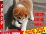低价转让 秋田幼犬 疫苗驱虫已做 包纯种包健康