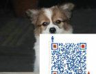 哪里出售蝴蝶犬 哪里有卖蝴蝶犬 蝴蝶犬价格