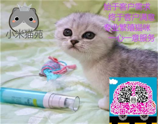 猫苑直销多只折耳猫宝宝,身体健康 品相好价格合理