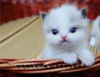 家养纯种布偶猫