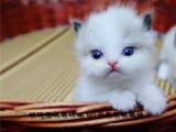 一窝九只超级高产基因布偶猫宝宝