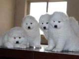 哈市出售自家繁殖金毛宝宝和萨摩幼犬