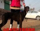 山东老贺犬王驯养基地专业出售惠比特犬格力犬灵缇犬马犬幼犬