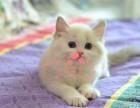 潍坊哪里有卖纯种布偶猫呢潍坊布偶猫一只多少钱呢