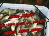 沧州市鱼苗批发、观赏鱼批发、渔场专业供应