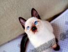 西安 陈暹罗家的暹罗猫 开始预订