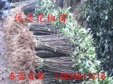 云南花椒苗  品种纯正大红袍   春蕾苗